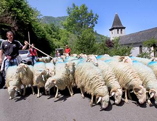 Transhumance dans les vallées du Béarn Pyrénées